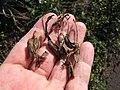 Starr-120403-4086-Aloe arborescens-seed capsules-Kula-Maui (25045141151).jpg