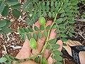 Starr-120415-4653-Cicer arietinum-seedpods-Hawea Pl Olinda-Maui (24771743329).jpg