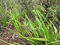 Starr-120425-4848-Dianella sandwicensis-form multipedicellata-Waikapu Valley-Maui (24509088504).jpg