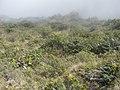 Starr-121018-1069-Dubautia sp-hybrid swarm here-Supply Trail HNP-Maui (25101238641).jpg