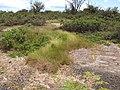 Starr-130617-5084-Cyperus laevigatus-habit-Kealia Pond NWR-Maui (25212361665).jpg