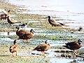 Starr-130911-0982-Cyperus laevigatus-habitat with Laysan Ducks Ruddy Turnstones and Brown Noddies-E Lake-Laysan (25196959826).jpg