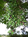 Starr-150811-0604-Ficus benjamina-fruit and leaves-Enchanting Floral Gardens of Kula-Maui (24928234169).jpg