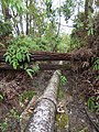 Starr-180909-0717-Eucalyptus robusta-fallen on pipe-Lower Kula Pipeline Waikamoi-Maui (44902465045).jpg