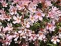Starr 030525-0035 Nerium oleander.jpg