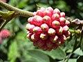 Starr 030702-0072 Calliandra haematocephala.jpg