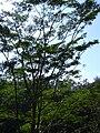 Starr 040209-0032 Falcataria moluccana.jpg