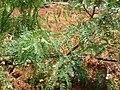 Starr 050516-1317 Prosopis glandulosa.jpg