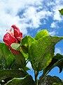 Starr 060922-9178 Hibiscus kokio subsp. kokio.jpg