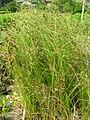 Starr 061108-9651 Cyperus trachysanthos.jpg