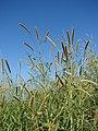 Starr 061211-2254 Pennisetum purpureum.jpg