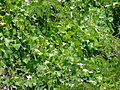 Starr 070402-6249 Coccinia grandis.jpg