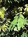 Starr 071024-0287 Myrciaria cauliflora.jpg