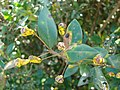 Starr 080304-3225 Myrtus communis.jpg