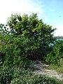 Starr 080605-6398 Ficus microcarpa.jpg