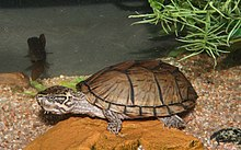 Sternotherus carinatus wikipedia for Tartaruga acquatica letargo