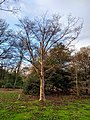 Stewartia sinensis at Tilgate Park.jpg