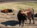 Stier und Kalb.JPG