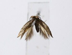 Nepticulidae - Stigmella alnetella