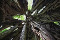 Strangler fig Curi Cancha 04.jpg