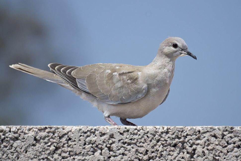 Streptopelia decaocto -Gran Canaria, Canary Islands, Spain -juvenile-8