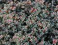 Suaeda sp. ifniensis or mollis - Flickr - S. Rae.jpg