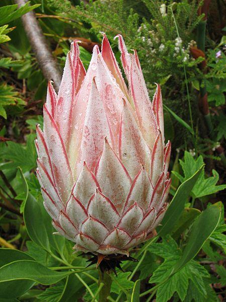 File:Suedafrika Pflanze06.JPG