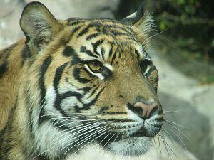 Louisville Zoo - Sumatran tiger