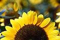 Sunflower sunrise (1224982492).jpg