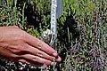 Surveying for salt marsh bird's beak (34030593701).jpg