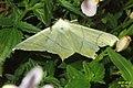 Swallow-tailed moth (BG) (15212390199).jpg