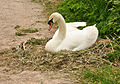 Swan by the Exeter Ship Canal.jpg