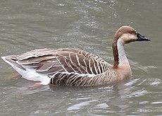 Swan goose in captivity.