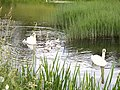 Swans on Lancaster Canal - geograph.org.uk - 483753.jpg