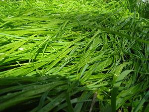 Hierochloe odorata - Image: Sweet Grass
