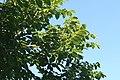 Swietenia macrophylla 4zz.jpg