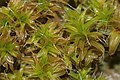 Syntrichia ruraliformis (a, 163828-475024) 6561.JPG