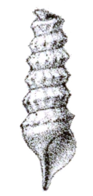 Syrinx aruanus - Drawing of the protoconch, from Tryon, 1887