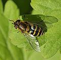 Syrphus ribesii female (15683236447).jpg