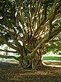 Syzygium francisii DSCN0581.jpg
