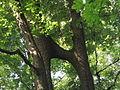 Törzsüknél összenőt fák03 - Hédervár.JPG