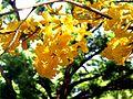 Tabebuia chrysotricha flowers1.jpg