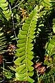 Taggbräken - Polystichum lonchitis0188 - Flickr - Ragnhild & Neil Crawford.jpg
