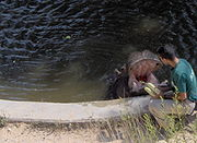 Tami the Hippo having lunch in the Jerusalem Biblical Zoo