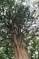 Taxodium distichum 22zz.jpg