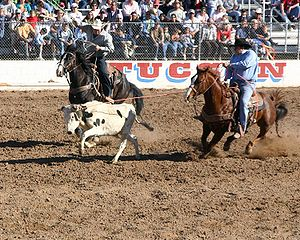 Team roping - Team roping consists of two ropers; here, the header has roped the steer and is setting up to allow the heeler to rope the back legs of the steer.