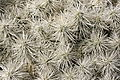 Teguise Guatiza - Jardin - Cylindropuntia tunicata 06 ies.jpg
