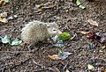 Tenrec ecaudatus is widespread throughout Seychelles.jpg