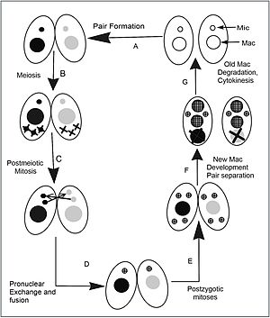 Tetrahymena - Tetrahymena conjugation. When nutrients are scarce, two individuals (A) pair with each other and begin sexual reproduction (conjugation).  (B) The diploid micronucleus in each individual undergoes meiosis to form four haploid nuclei, and three of these are degraded.  (C) The remaining haploid nucleus divides mitotically to form two pronuclei in each cell.  (D) One of the two pronuclei in each cell is exchanged with the mating partner, and fusion leads to the formation of the diploid zygotic nucleus. (E) The zygotic nucleus divides twice mitotically to form four nuclei. (F) Two nuclei become micronuclei, and the other two differentiate to become macronuclei; the original parental macronucleus is degraded. (G) Cell division occurs and the nuclei are distributed to the daughter cells so that each progeny receives one micronucleus and one macronucleus.