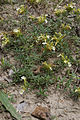 Teucrium montanum bois-gouverne-malade-pommiers 02 18072008 01.jpg